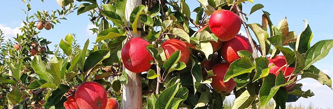 Apfelbaum Obsthof Wißkirchen