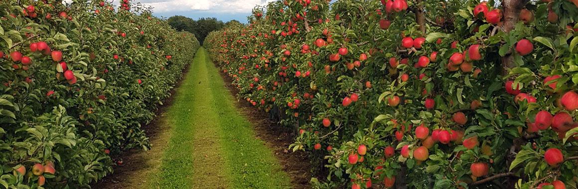 Apfelplantage Obsthof Wißkirchen